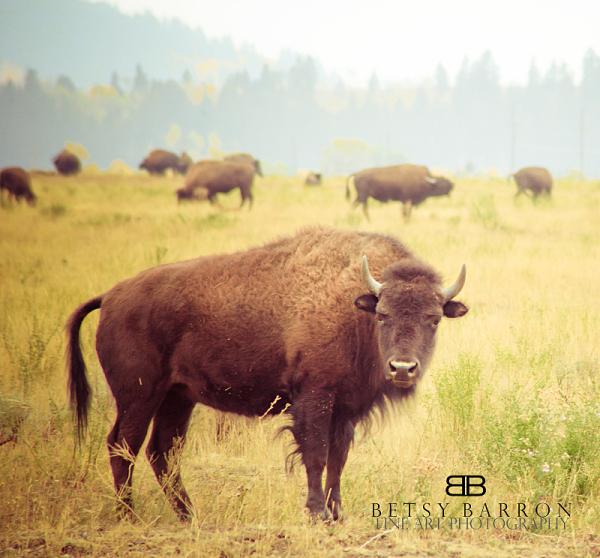 buffalo, bison, wyoming, jackson, tetons, animal
