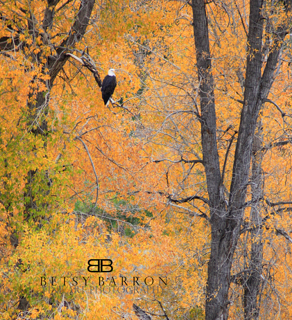 jackson, wyoming, teton, animal, eagle, bald, amer
