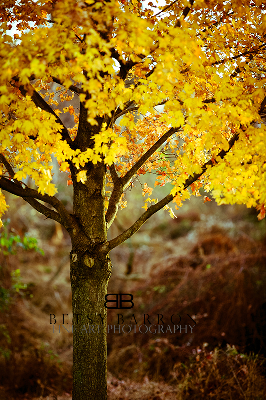 tree, fall, autumn, leaves, leaf, yellow, landscap