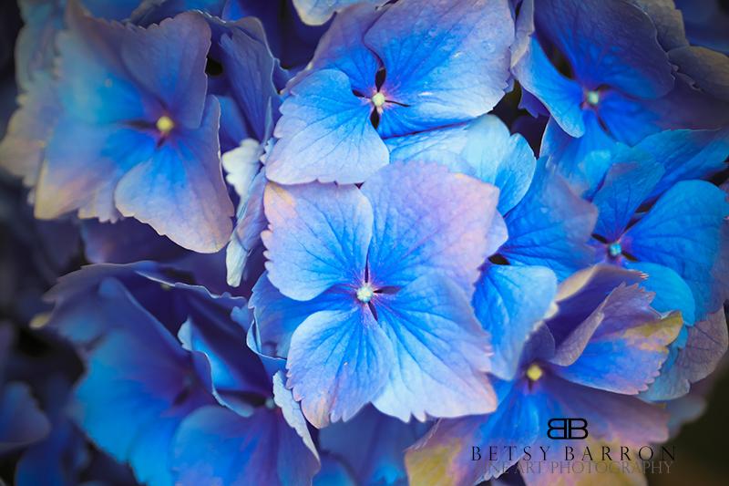 hydrangea, flower, plant, blue, longwood