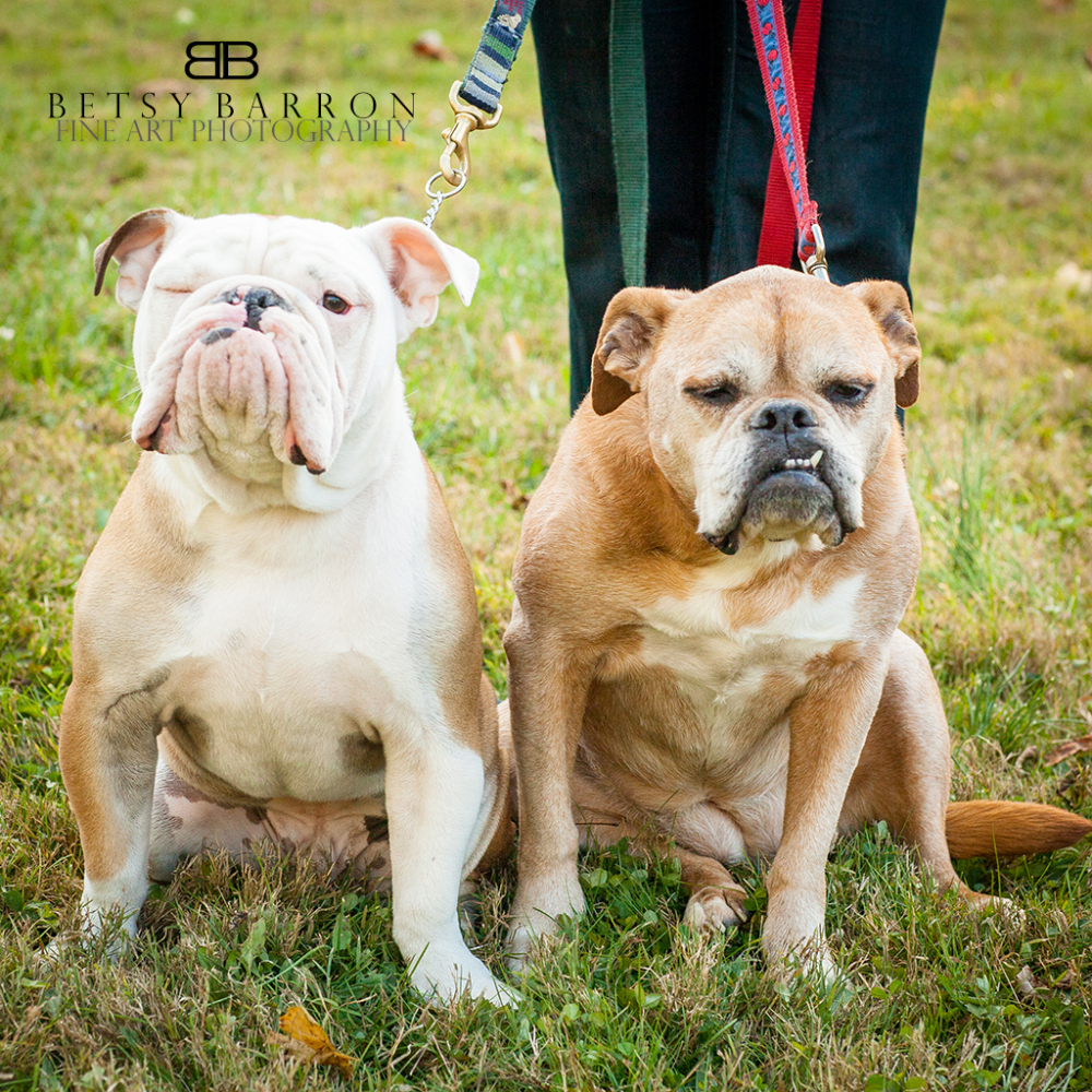 pet, dog, bulldog, family love, bully