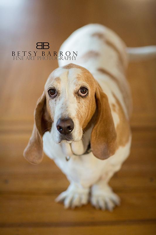 pet, basset, hound, dog, love