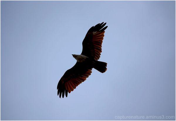 Eagle Fly Freedom Capturenature Vinay