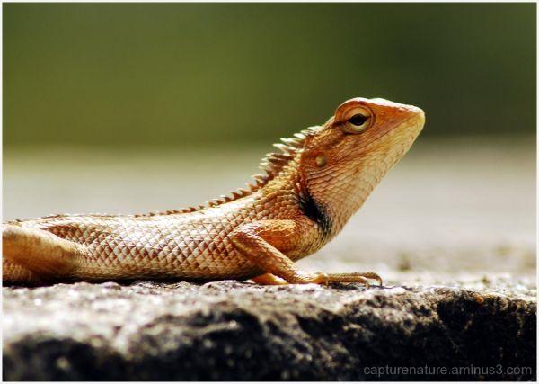 Lizard Rottikallu Sakleshpura