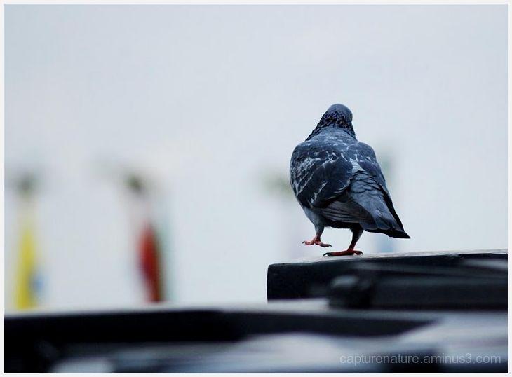 Pigeon Sikkim Vinay Venkataraman capturenature