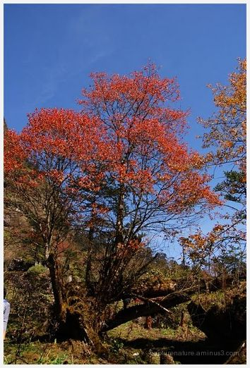 Sikkim Yamthung Valley Lachung Tree