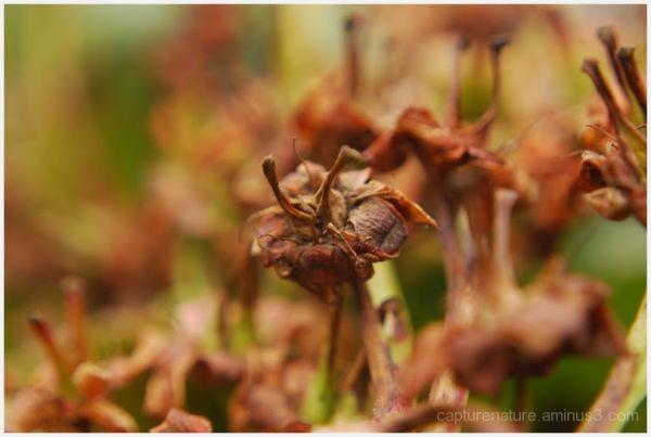 Lachung Sikkim Macro Dry plant
