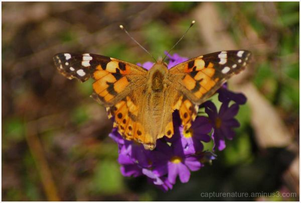 sikkim yamthung valley lachung butterfly