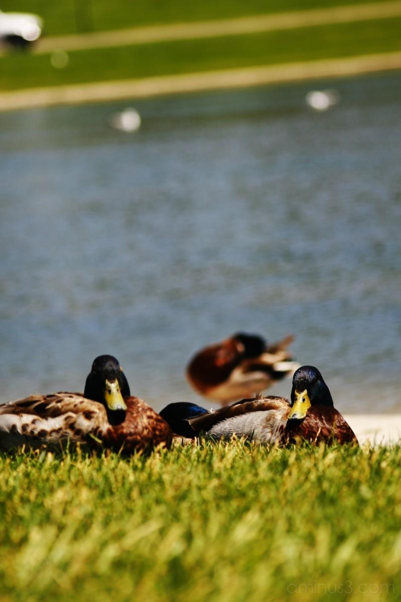 Ducks in Sugar House Park