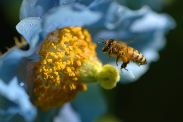 bee and blue poppy