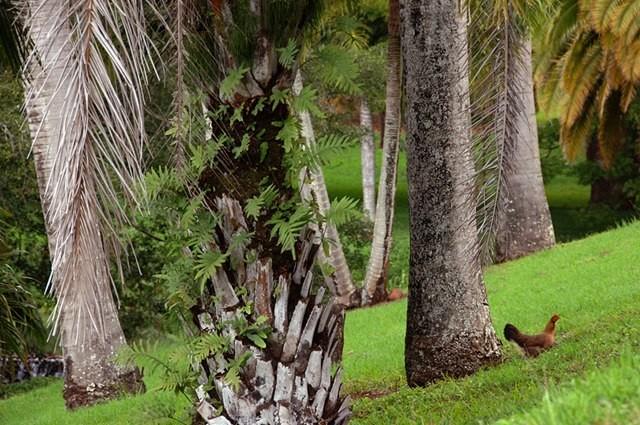 chicken palm trees