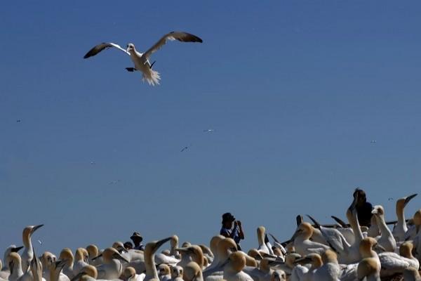 gannets bonaventure island percé quebec canada