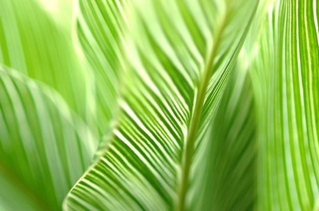 leaves hawaii
