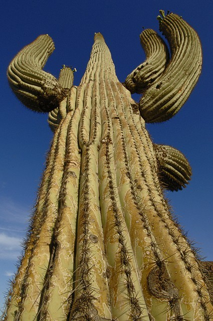 cactus Saguaro National Park, Sonoran Desert, Tucs