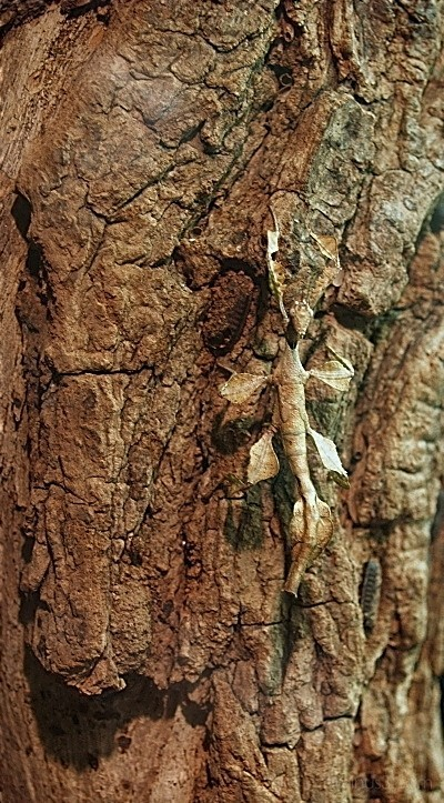 gespenstheuschrecke extatosoma tiaratum