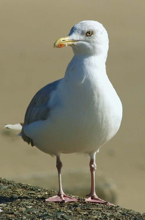 seagull wales