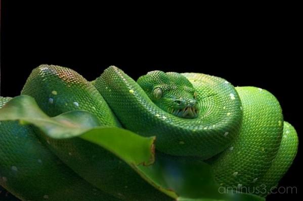 Green tree phyton (Morelia viridis)