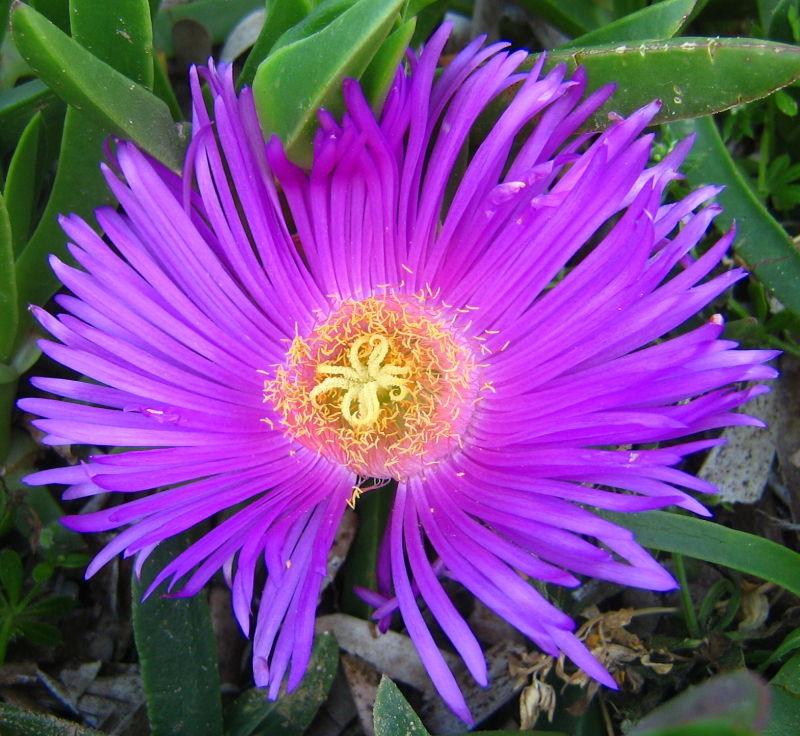 mauve flower plant