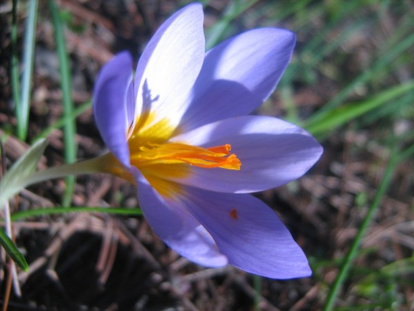 wild mauve flower crocus