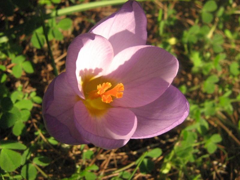wild flower spring crocus