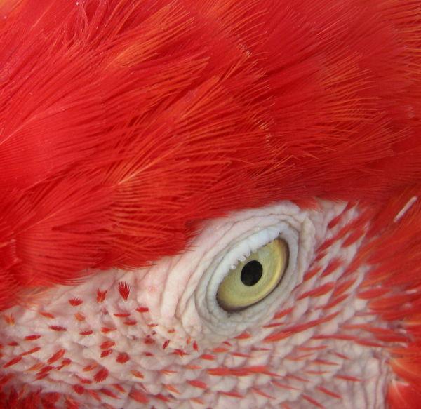 eye parrot