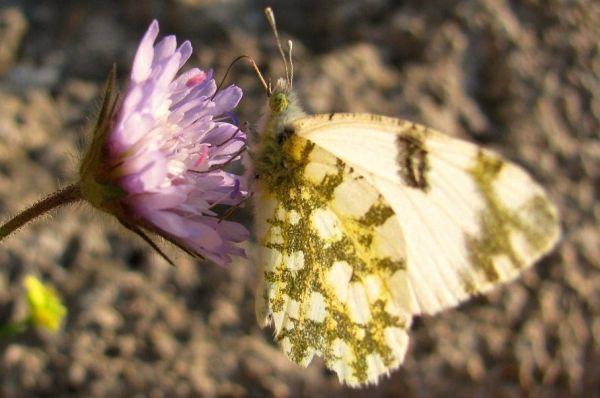 butterfly flower plant