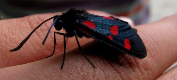 Zygaena filipendulae butterfly
