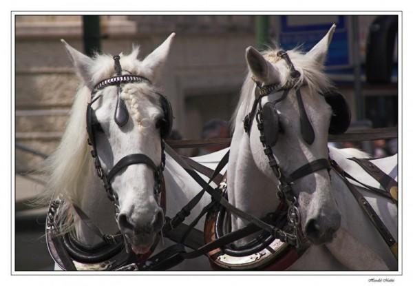 Pferdegespann, Schimmel, Pferde