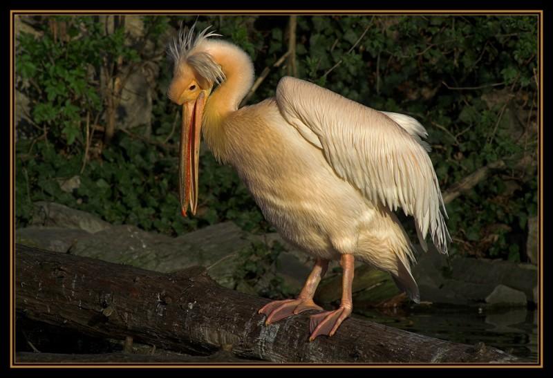 Pelikan im letzten Sonnenlicht