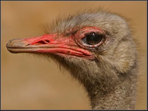 ostrich, nature, animal, wildlife