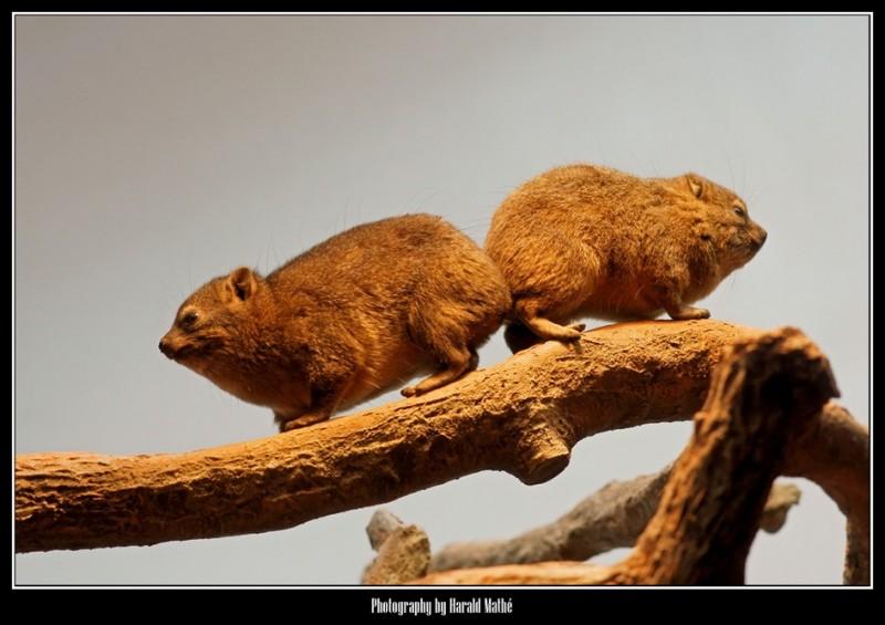 Cape Hyrax