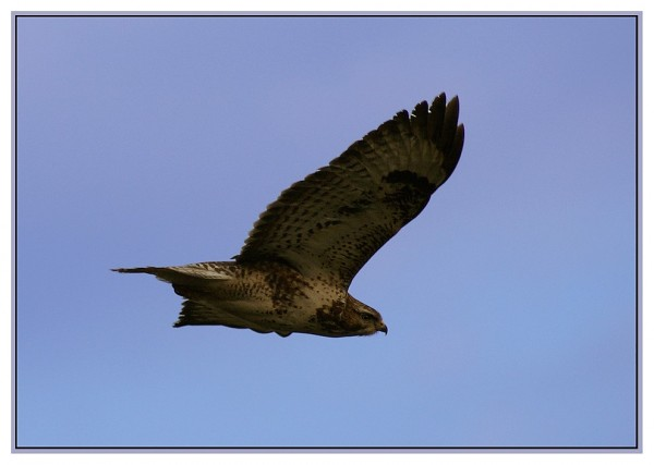 flying Buzzard