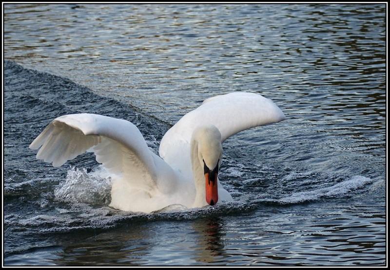 swan-landing_2