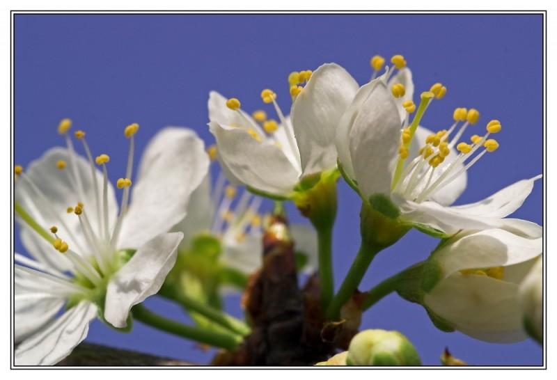 Mirabelle blossom