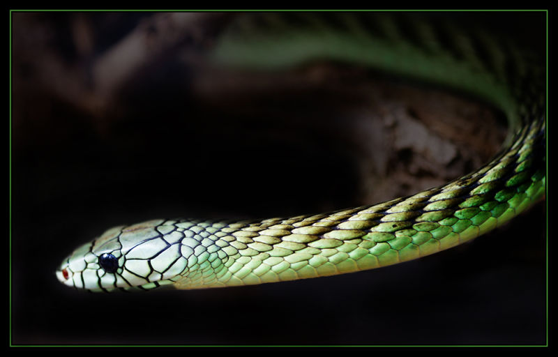 green mamba_2