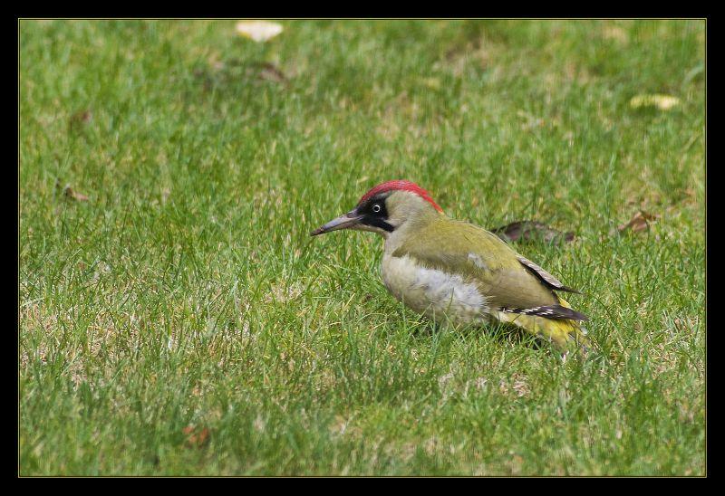 woodpecker_2