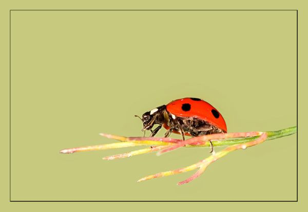 Ladybird_2