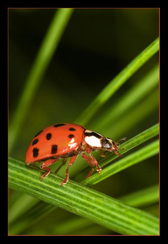 Ladybird_3