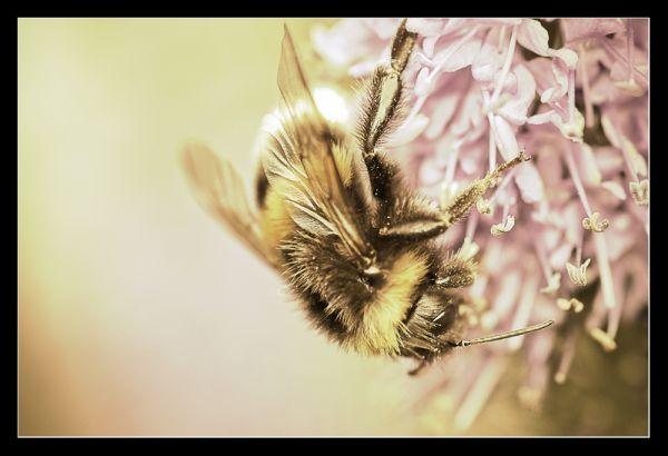 Golden Bumble Bee