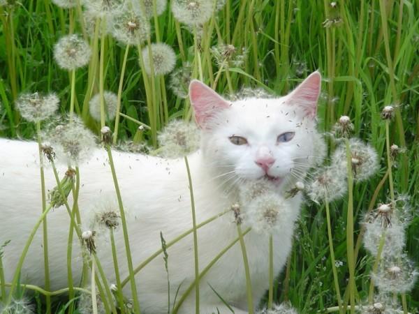 white cat dandelion fluff