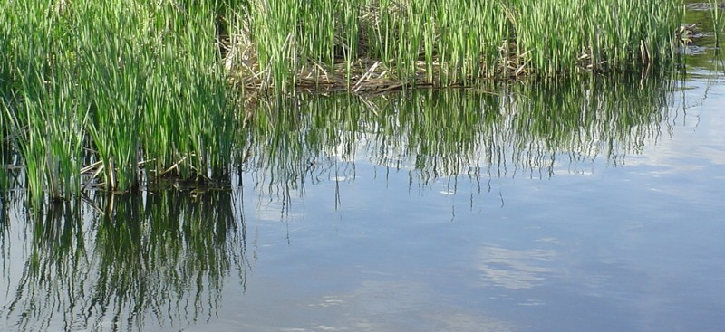 cattail relections water
