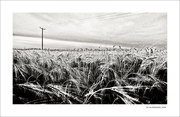 Barley in B&W