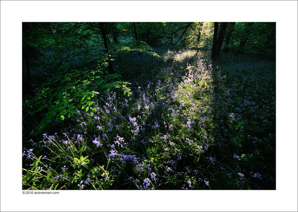 Dusk in the Bluebell Wood