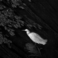 fine art black and white photo of a snowy egret