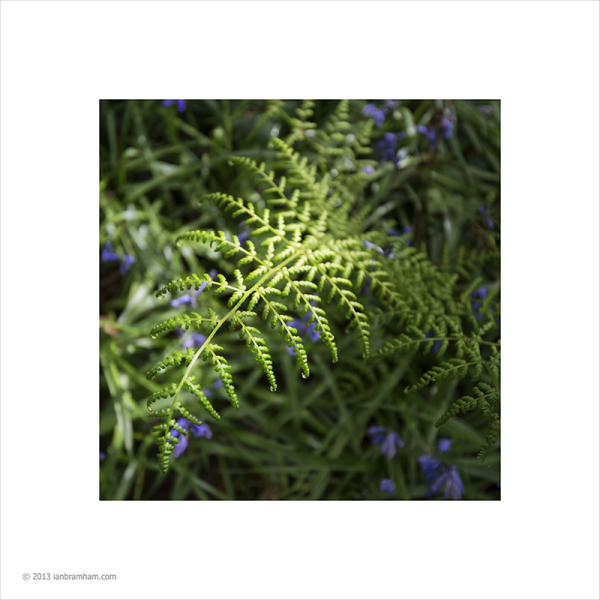 Fern and Bluebells