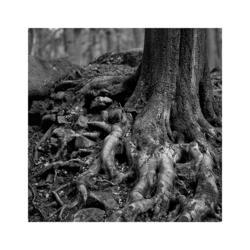 Beech Tree Roots, Padley Gorge