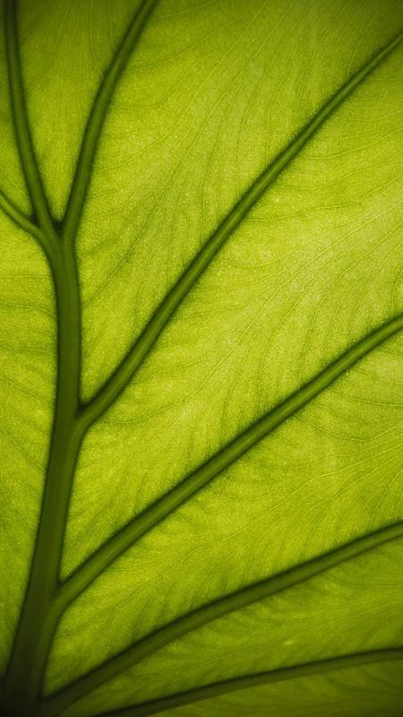 Venes verdes