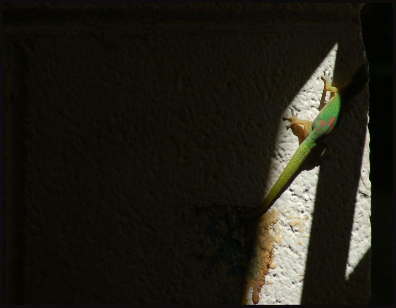 Green Kona Gecko