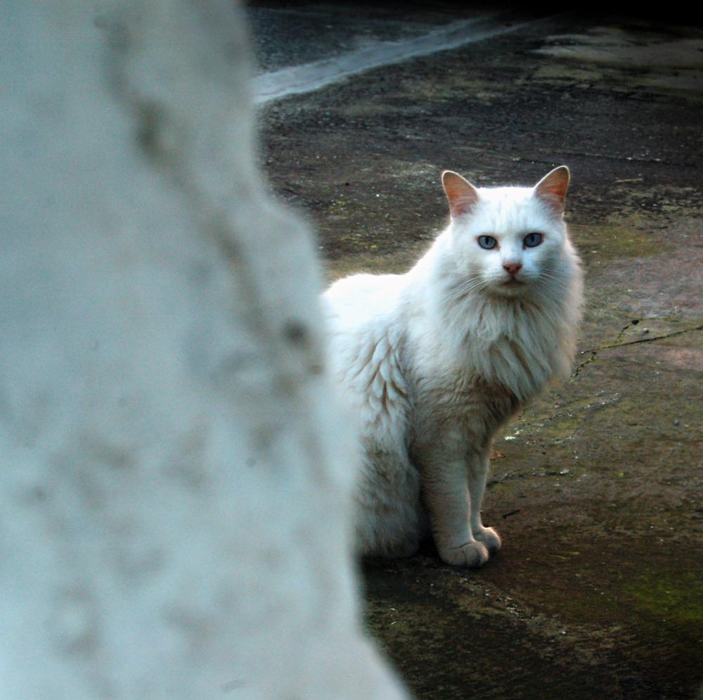 Maltese Street Cat