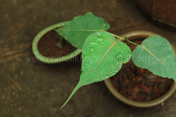 three tree leaves